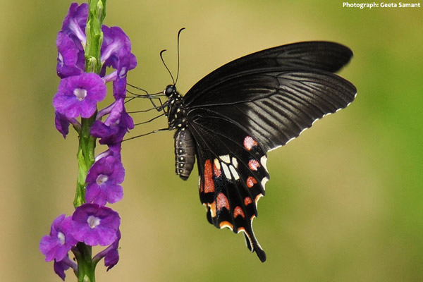 Scientists discover single gene that enables multiple morphs in a butterfly