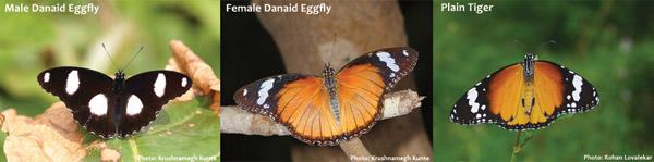 The Danaid Eggfly female imitates the Plain Tiger. Photos by: Rohan Lovalekar and Krushnameghe Kunte.
