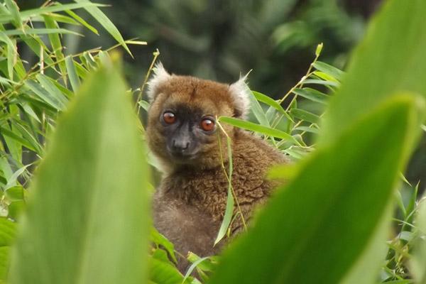Le grand bambou lémur mastiquant en Andrantantely. L'image tirée par Hery Randriahaingo.