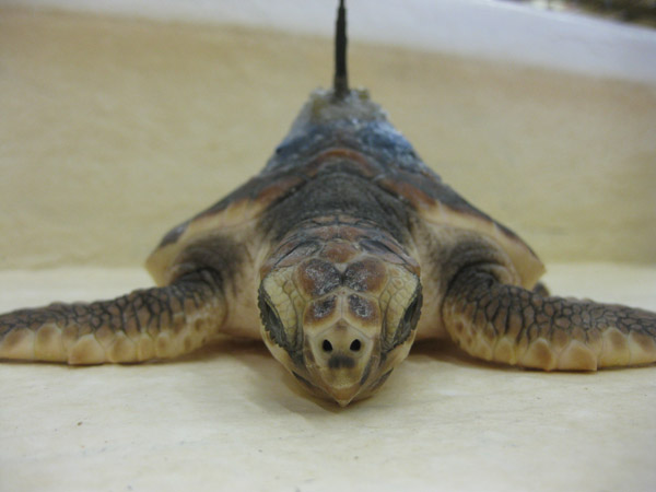 Final satellite tag attachment in the lab on loggerhead sea turtle. Photo by: Kate Mansfield.