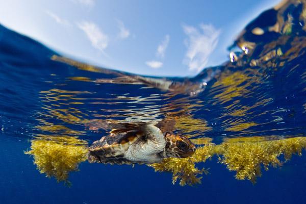 Tortuga marina con transmisor nada a través de las algas marinas. Foto de: Jim Abernethy.