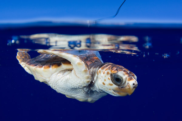 Young loggerhead sea turtle with satellite tag released in the Gulf Stream off the coast of southeast Florida. Photo by: Jim Abernethy.
