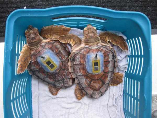 Tortugas bobas con transmisor satelital esperando para ser soltadas.  Foto de: Kate Mansfield.