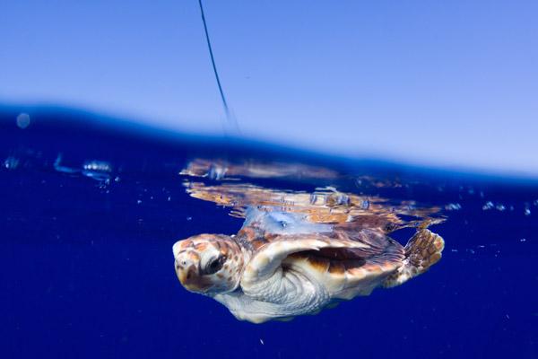 Tortuga boba con transmisor satelital nadando.  Foto de: Jim Abernethy.