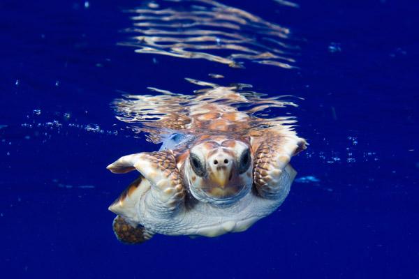 Tortugas marina con transmisor satelital nadando. Foto de: Jim Abernethy.