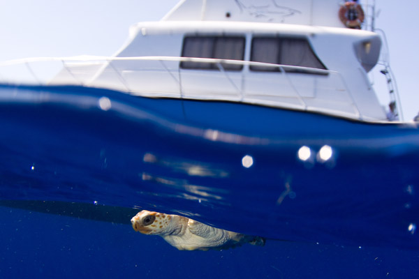 Tortuga marina con transmisor tras ser soltada.  Barco al fondo. Foto de: Jim Abernethy.