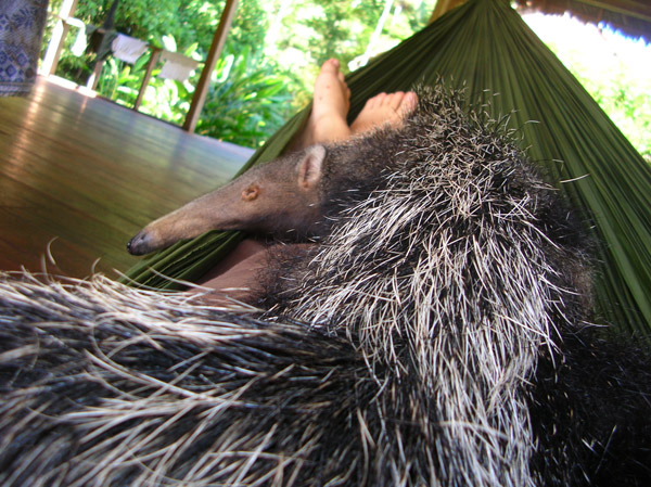 A nap with orphan giant anteater Lulu. Photo courtesy of Paul Rosolie.