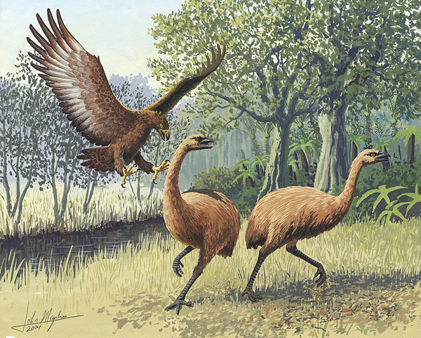 A Haast's eagle divebombing a pair of moas. A new study finds that it only took a few thousand people to kill off the nine species of moas found on New Zealand, an act which also led to the extinction of their only predator, the Haast's eagle. Image by: John Megahan.