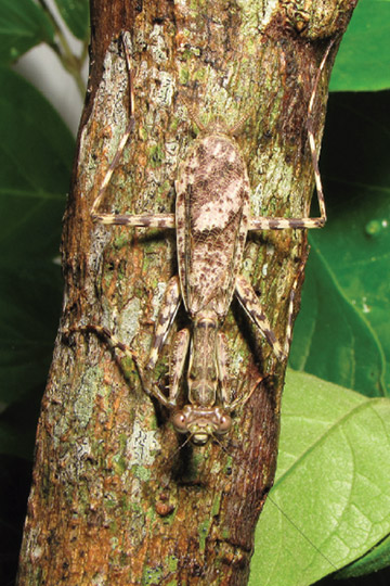 Spot the mantis? Neotropical bark mantises are incredible camouflagers and speedier escapers. This is Liturgusa nubeculosa, which is not among the new species. Photo courtesy Svenson et al.