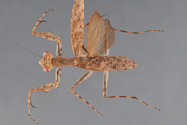 A female specimen of the new species: Liturgusa tessae. Found in Tambopata, Peru this species is named after one of Svenson's daughters. Photo courtesy of Svenson et al.