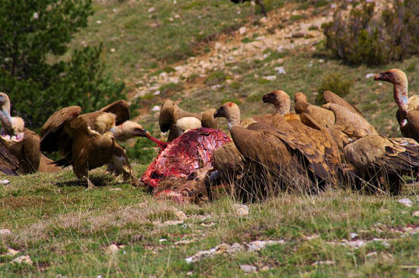 A group of griffon vultures (Gyps fulvus) descend from the sky and land on a dead doe in Cataluña in Spain. Photo by: Mario Modesto Mata.