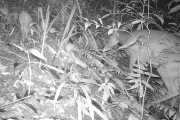 Roosevelts' muntjac climbing a hillside. Photo by: Xuan Lien Nature Reserve and CRES, VNU.