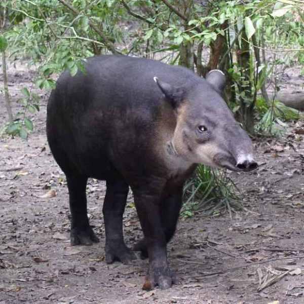 A Baird's tapir. Photo courtesy of Creative Commons 3.0