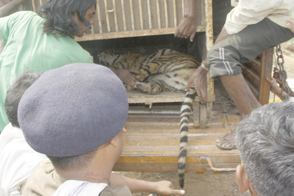Officials ensure that she is safely placed in a specially constructed cage for transportation to an area where she will be quarantined. Photo by Roheet Karoo.