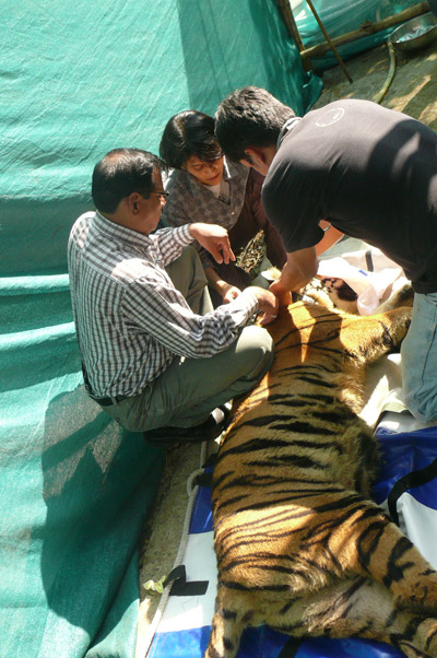 Kala, the rescued tigress, being outfitted with a GPS collar prior to release. Photo by: Aditya Joshi.