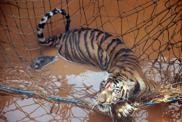 Kala shows evidence of wounds on her face from attempts to exit the deep culvert in which she was trapped. Photo by Roheet Karoo.