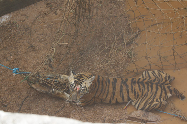 Kala resting after being darted (dart visible in the bottom right of the image). Photo by: Roheet Karoo.