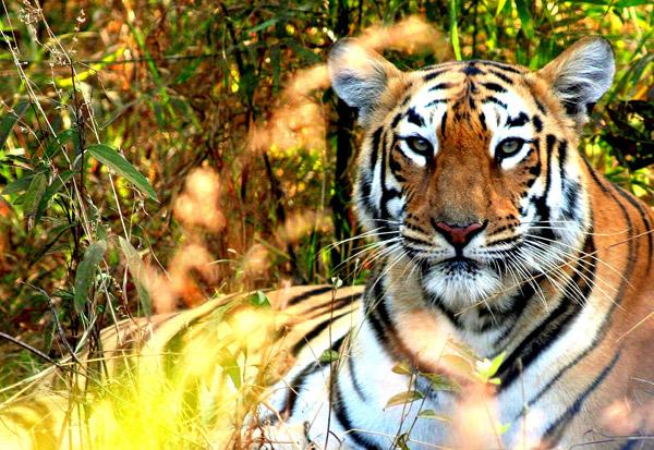 Tiger in Tadoba-Andhari Tiger Reserve in the state of Maharashtra. Photo by: Morgan Erickson-Davis.