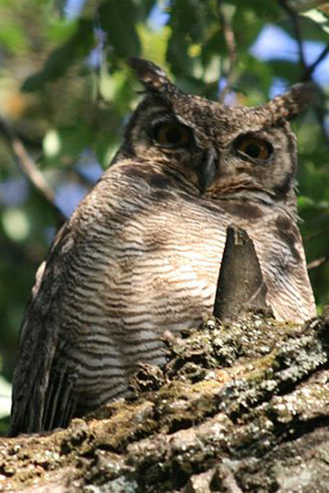 Female Magellenic horned owl (Bubo magellanicus). Photo by: Diucón.