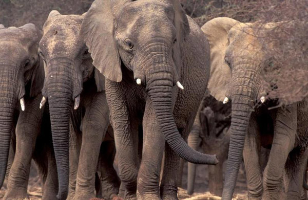 Mali elephant family group which consist of females and their offspring. They are headed by a matriarch who has decades of experience and memories to depend on, including where to find water during droughts. Photo by: Carlton Ward Jr.