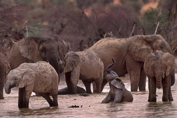 Mali's elephants enjoy wading. Photo by: Carlton Ward Jr.