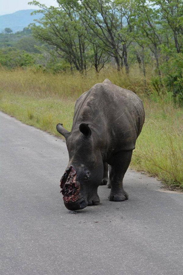 Young rhino whose horn and part of its face cut off by poachers. The animal survived for several days before South African officials found it and put it down. Photo by: Frans Lombard, shared on Facebook.