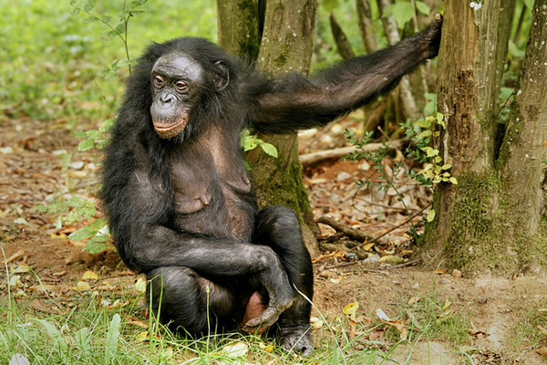 Bonobo in zoo in France. The bonobo, one of seven great apes, are only found in the DRC. The country is also home to chimpanzees and gorillas. Photo by: Hans Hillewaert