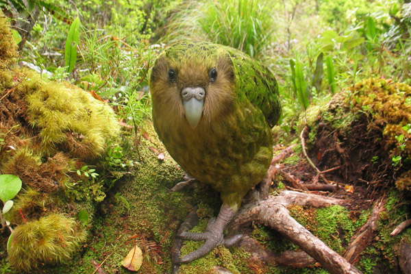 The kakapo, a flightless parrot from New Zealand, is number four on the EDGE Birds List. Photo by: Shane Mcinnes.