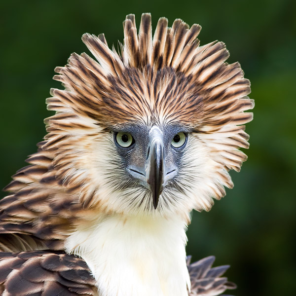 The impressive Philippine eagle is number eight on the list. Photo by: Alain Pascua.