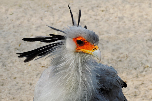 Number 28, the secretarybird is found across sub-Saharan Africa and kills venomous snakes by repeatedly stepping on their heads. Despite being an iconic species and in decline, there are no conservation efforts working specifically to save the species. Photo by: Dries Nys.