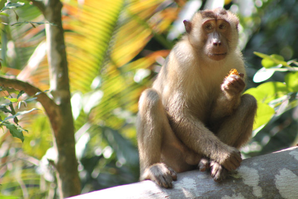 Macaque in Tanjung Hantu Permanent Forest Reserve. Photo by: Nadine Ruppert.
