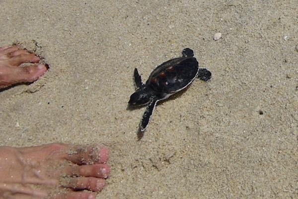 Green sea turtle hatchling on Pasir Panjang. Photo by: Nadine Ruppert.