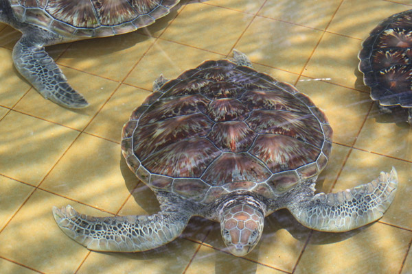 Green sea turtles at Turtle Conservation and Information Center at Pasir Panjang. Photo by: Nadine Ruppert.