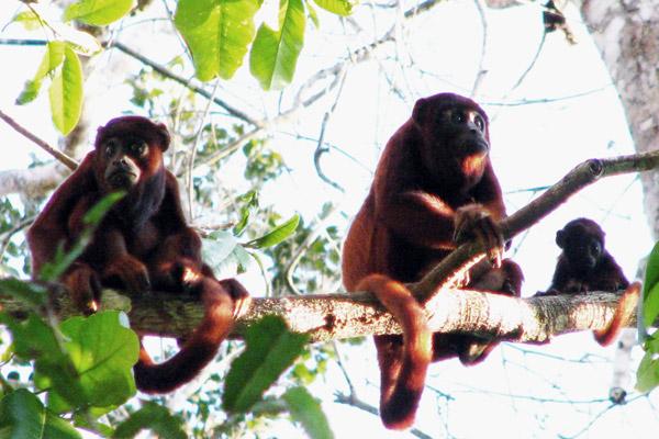 Mono aullador, generalmente uno de los primeros primates en ser eliminado de los bosques tropicales donde se practica la caza, fotografiado en la Estación Ecológica Cocha Cashu. Fotografía de Varun Swamy.