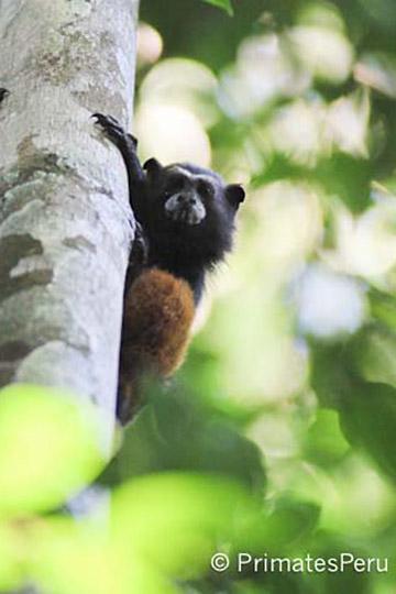 Tamarinos de lomo marrón, los primates más pequeños que habitan la selva (llegan a pesar menos de 500 gr), en la Estación Biológica Los Amigos. Fotografía de PrimatesPeru.