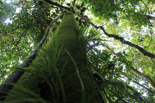 Rainforest tree on Woodlark Island. Photo by: Simon Piyuwes.