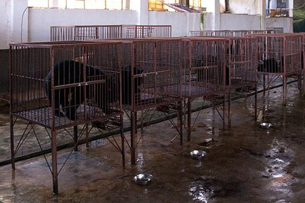 Sun bear bile extraction factory in Myanmar. Photo by: Dan Bennett.