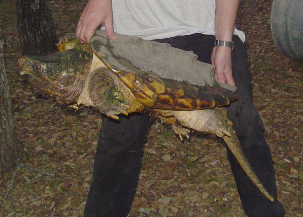 Handling an alligator snapping turtle in Texas. Photo by: L.A. Dawson