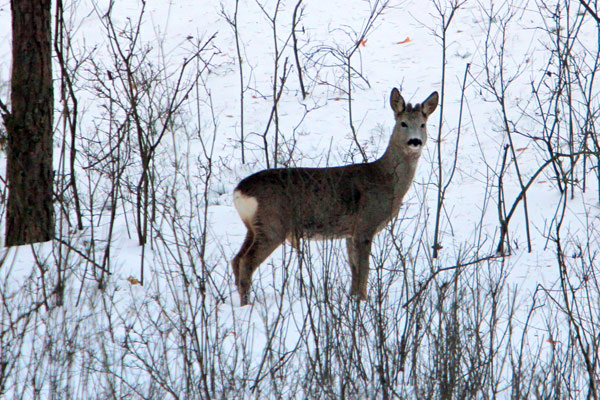 Roe deer in winter in Poland. Photo by: Jeremy Hance.