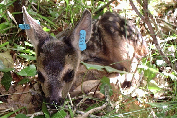 New fawn roe deer that has been ear tagged by scientists. Photo by: Maryline Pellerin.