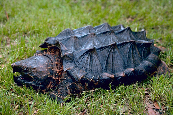 Alligator snapping turtle. Photo by: Gary M. Stoltz/USFWS.