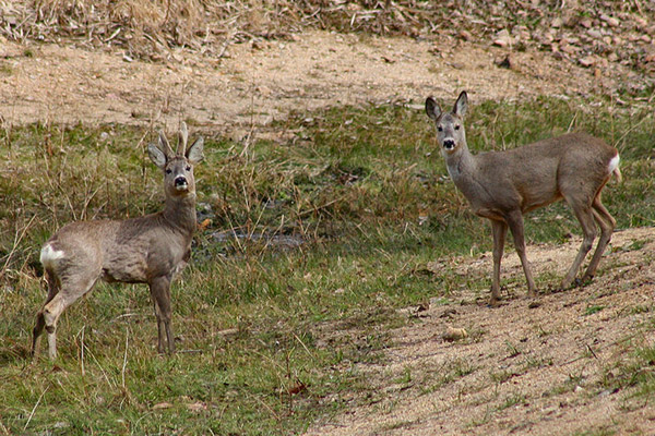 Male roe deer on the left, female on the right.