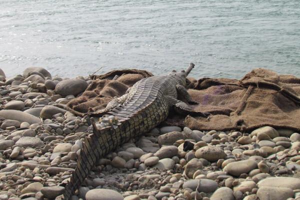 Satellite-tagged gharial released in River Gandak. Photo: Samir Kumar Sinha / WTI