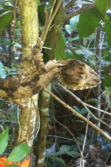 A leaf-tailed gecko encountered while tagging along with a team researching the black and white ruffed lemur. Photo by: Zach Fitzner.