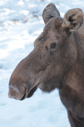 The Minnesota Zoo is working with research efforts looking at why moose are vanishing from the state. Photo by: Tara Harris.