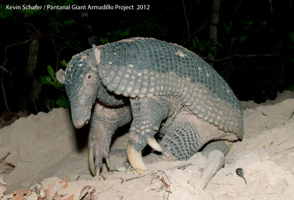 A giant armadillo captured on camera trap. Photo by: Kevin Schaefer/the Pantanal Giant Armadillo Project.