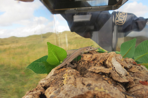 Sand lizard in terrarium. Chester Zoo's Act for Wildlife works with local species, such as sand lizards and dormice. Photo by: Act for Wildlife.