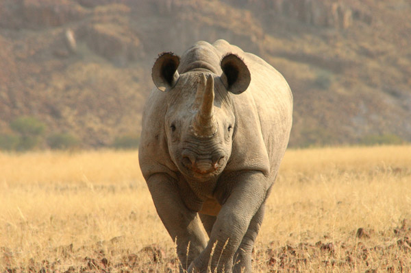 The Minnesota Zoo supports conservation efforts of black rhinos in Namibia along with Save the Rhino Trust (SRT). Photo by: Tara Harris.