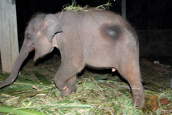 Elephant baby confiscated by the officials at Mirigama location. Photo by: Nadika Hapuarachchi.