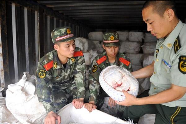 Officials investigate dead pangolin.